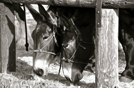 A pair of two bridle mules with pointed ears foraging for feed
