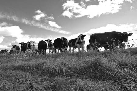 cattle wire wires: A herd of cows in a pasture are against a barbed wire fence.