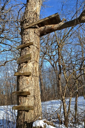 woodsy: Old rickety steps lead up to a deer stand in a huge oak tree