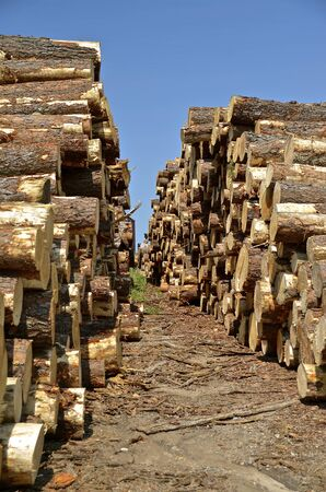 sawed: Piles of pine logs to be used in the production of rough sawed lumber