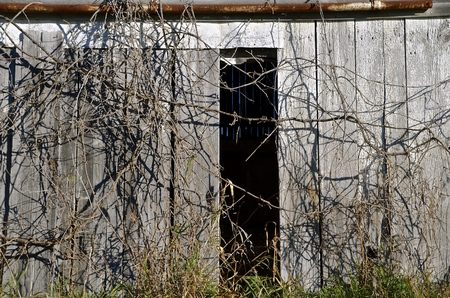 barn doors: Open vintage weathered barn doors with vines growth near opening. Stock Photo