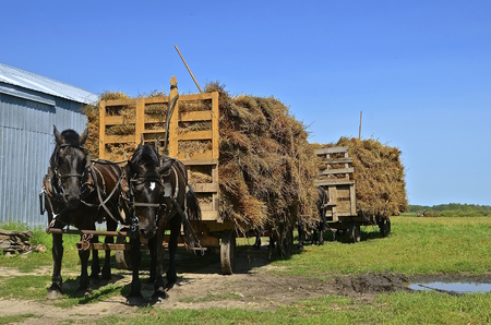 thresh: Several teams of horses pull loaded racks of oat bundles from shocks in the threshing process