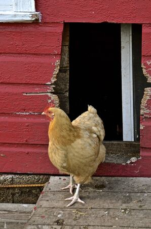 brooder: A brownish colored hen walks out of an old red chicken house. Stock Photo