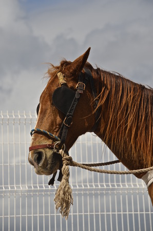 horse pull: A lone brown horse with blinds and bridled is ready to pull a carriage.