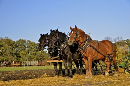 thresh: A team of horses are used to plow oats stubble with an old threshing machine and wagons in the background.