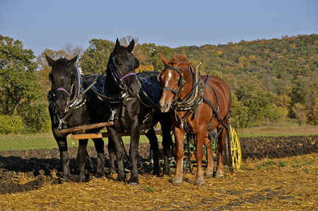 fall trees: A team of horses are used to plow oats stubble