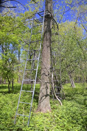 deer stand: Dual ladders on either side of a tree create a dual deer stand, allowing a hunter to be on either side of a tree