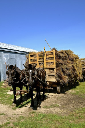 shocks: A team of horses are hitched to a loaded rack of oat bundles for threshing.