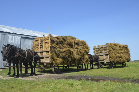 hitched: Several teams of horses are hitched to loaded racks of oat bundles for threshing.