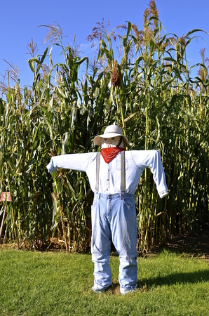 scare: Human like scare crow in front of a field of tall corn