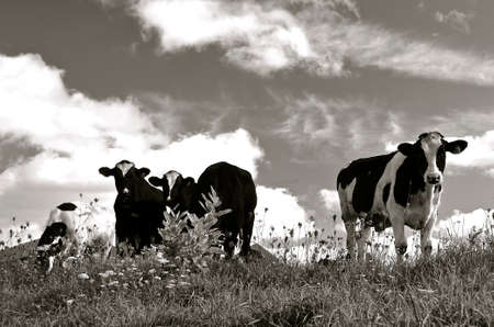 Herd of inquisitive dairy cows in a field (black and white)