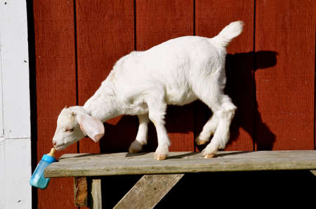 A young white kid goat is aggressively attempting to suck milk out of a plastic bottle while standing on a old wooden table. Фото со стока