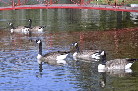 canadian geese: The reflection of a red bridge is cast upon the water which has Canadian geese swimming.