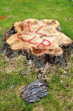 municipal utilities: A huge elm tree stump on a boulevard with a warning of electrical wires underground Stock Photo