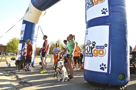 Fargo, North 16 DAKOTA-mei 2016: Honden en hun trainer  eigenaren deelnemen aan de eerste Furgo hond race op de jaarlijkse Fargo Marathon die ook een cyclothon, jeugd, 5K, 10K, halve en volledige runs.