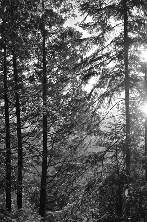 woodsy: The early morning sun filters through pine trees. (black and white)