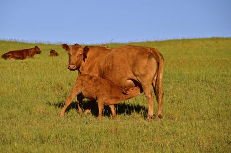 A young calf is nursing from the mother cow as several other Red Angus are in the background