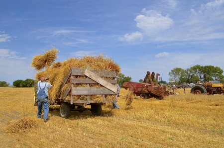 ROSHOLT, SOUTH DAKOTA, August 21, 2015: Unidentified men pitch  days bundles onto a rack at the annual Rosholt Area Threshing Bee held the third full weekend of August.