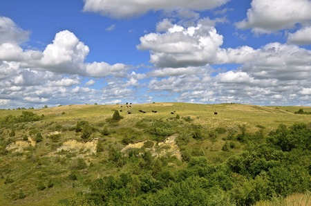 black angus cattle: Cattle graze the hills in the rugged Theodore Roosevelt Badlands of North Dakota