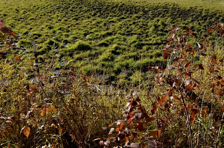 Grassy hummocks in a slough made by the feet of cattle creating holes when walking are filled with water. Stock Photo
