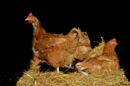 red straw: A reddish brown rooster and chicken roost on a bale of straw inside a poultry barn
