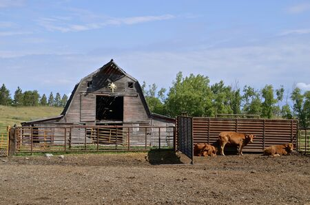 An old rickety hip roofed barn with beef cows in the forefront