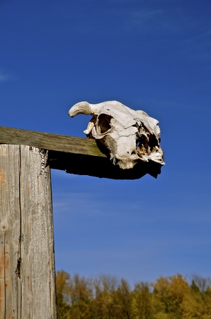 Skull of a beef animal displayed on a rural fencepost