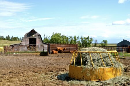 haymow: A  feeder loaded with a round bale provides hay to beef cattle in a corral by an old rickety barn.