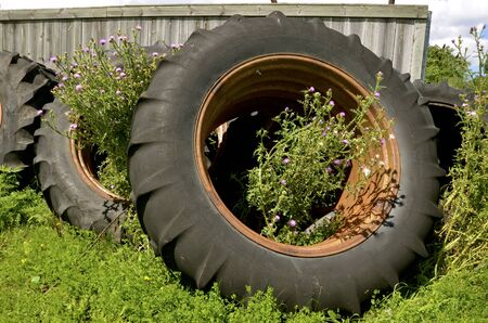 wornout: Blooming thistles are growing out of old tractor tires piled up against a weathered wood fence.