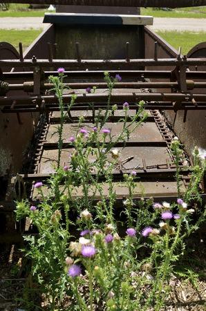 speeder: Volunteer blooming thistles are growing around an old vintage wooden manure spreader.