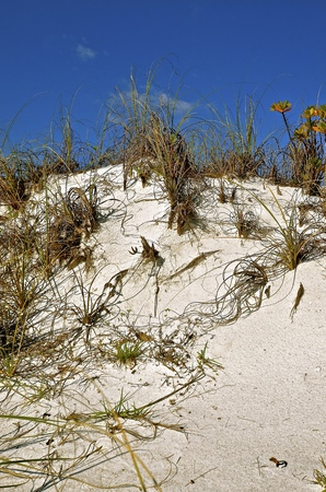 Sea Oats and grasses grow on a sand dune off the Atlantic Coastal waters
