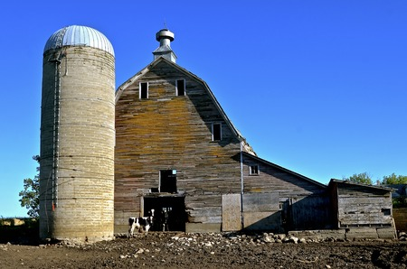 Cows stand in the doorway of an old  dilapidated hip roofed barn and silo