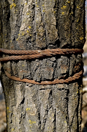 tightening: Growth of a tree is expanding around metal cables attached to the trunk Stock Photo