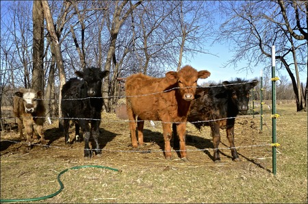 A makeshift electric fence provides a small pasture for a hobby farmer in a springtime setting.