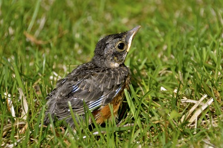 A baby robin has fallen out of its nest and is sitting in the grass. 版權商用圖片