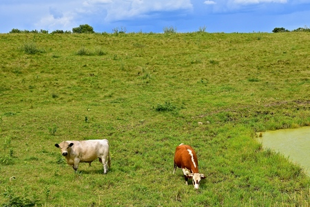 A Hereford cow and Charolais bull graze in a green lush pasture