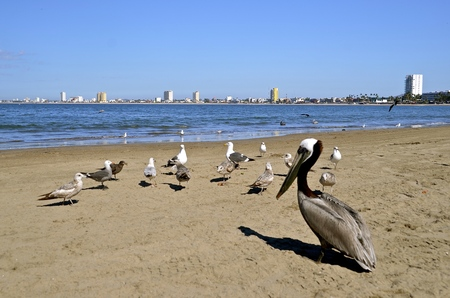 Seagulls and a brown pelican share the beach with the Mazatlan skyline in the distance Stock Photo