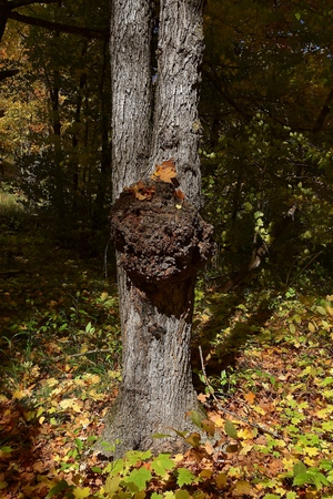 Maple tree trunk with a growth irregularity affected by a fungus Stock Photo