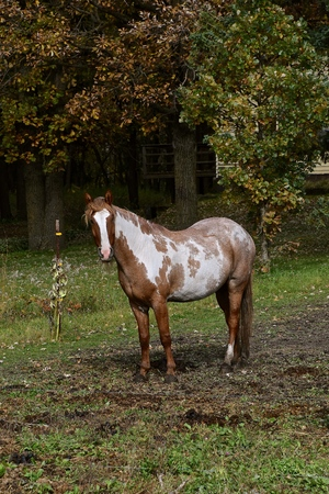 A solitary horse stands in a pasture with a woods in the background. Reklamní fotografie