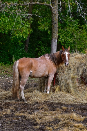 A solitary horse stands in front of a feed bunk eating hay.