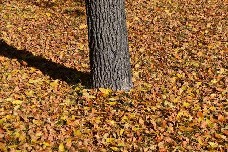 落ちた灰の葉は、秋の季節に金色の層で木を囲みます。 写真素材 - 91122327