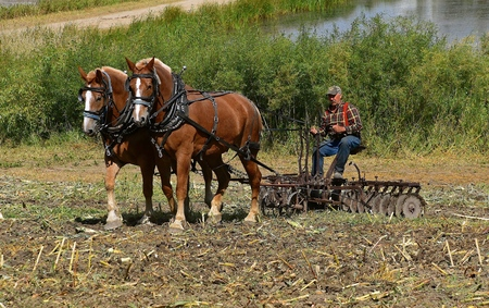 ROLLAG, MINNESOTA, Sept 2. 2017: An unidentified man and a team of horses are demonstrating historical field work at the annual WCSTR farm show in Rollag held each Labor Day weekend where 1000s attend.