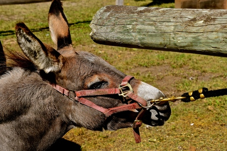 A stubborn donkey or mule displays stubbornness in being led by the halter.