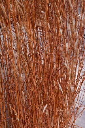 Reddish colored slough grass has been sprinkled with a fresh layer of snow.