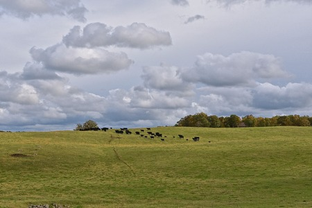 A beef herd of Black Angus walk across a hilly pasture on a cloudy day.