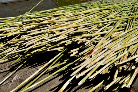 Stalks of mature sorghum are ready to be placed into a press where the sweet liquid is extracted.