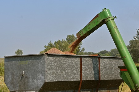 A n old green auger from a combine unloads wheat into a metal grain box Stock Photo