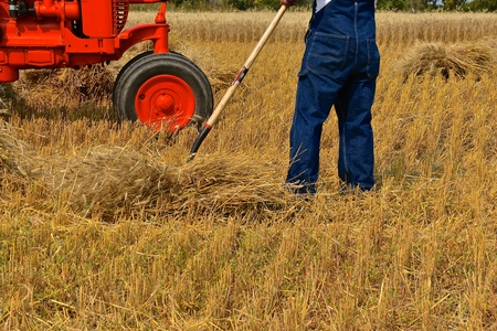 A farmer in bib overalls is gathering a bundle of wheat with a pitchfork  in front of an old orange tractor 写真素材