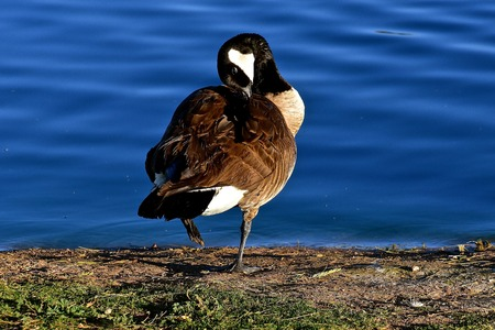 A Canada goose stands alert and preens by a body of bright blue water. Stock Photo