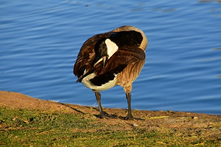 A Canada goose stands and preens by a body of bright blue water.